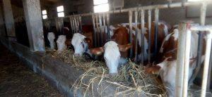 Mucche nella Stalla Formaggio Caciocavallo Semi Stagionato