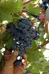 alicante-bouschet-vino-e-vitigni-di-sicilia