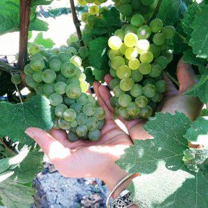 chardonnay-vino-e-vitigni-di-sicilia