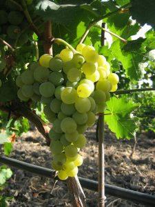 damaschino-vini-e-vitigni-di-sicilia