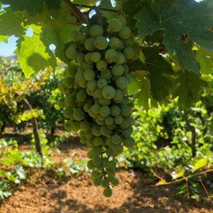 fiano-vino-e-vitigni-di-sicilia
