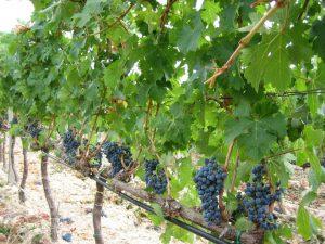 frappato-vino-e-vitigni-di-vittoria-sicilia