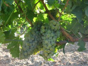 grecanico-vino-e-vitigno-autoctono-siciliano