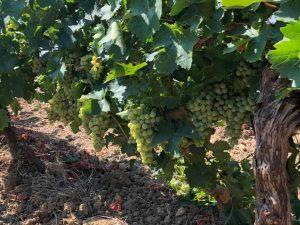 grillo-vino-e-vitigno-autoctono-siciliano
