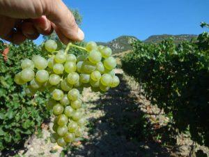 insolia-vino-e-vitigno-autoctono-siciliano