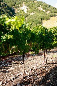 malvasia-vino-e-vitigni-di-sicilia
