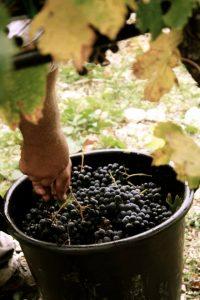 merlot-vino-e-vitigno-di-sicilia