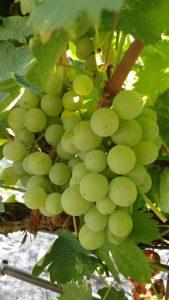 moscato-bianco-vino-e-vitigni-di-sicilia
