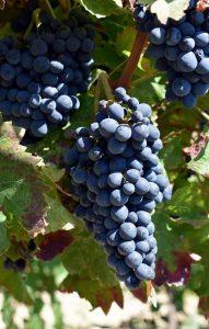 nerello-cappuccio-vino-e-vitigni-di-sicilia