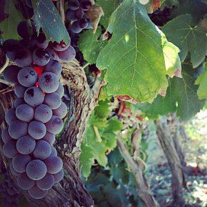 nerello-mascalese-vino-e-vitigni-di-sicilia