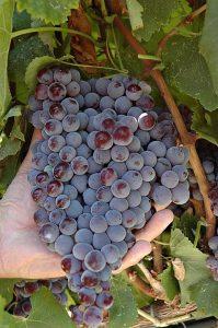 nocera-vino-e-vitigni-di-sicilia
