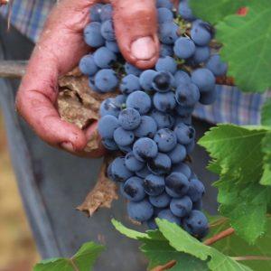 petit-verdot-vino-e-vitigni-di-sicilia