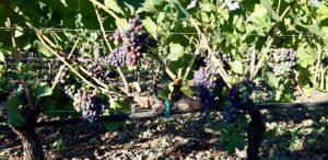 pinot-nero-vino-e-vitigni-di-sicilia