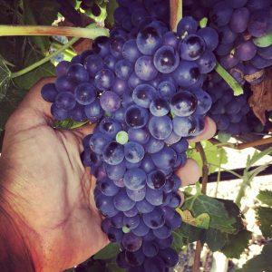 syrah-vino-e-vitigni-di-sicilia