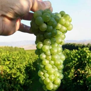 viognier-vino-e-vitigni-di-sicilia