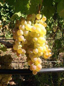 vermentino-vino-e-vitigni-di-sicilia