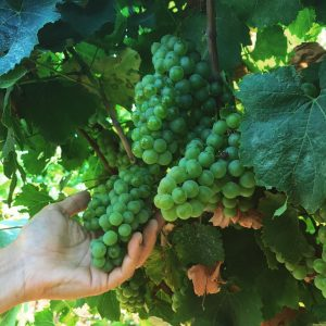 Manzoni Bianco Vino e Vitigni di Sicilia
